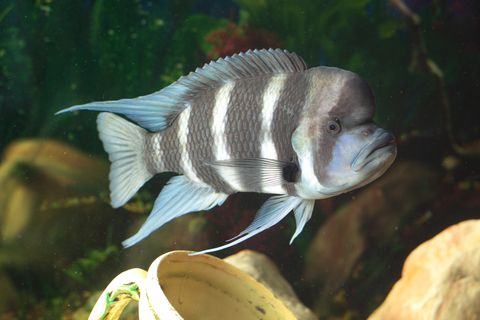 cichlid frontosa xs 13933331