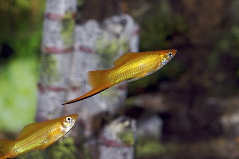 swordtail xs 13819468